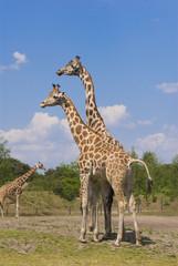 Two Rothschild Giraffes (Giraffa Camelopardalis Rothschildi)