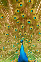 Peacock showing proudly feathers