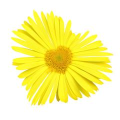 Yellow daisy heart