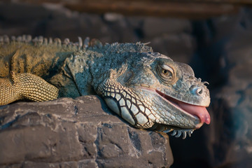 Iguana lying on a rock with its tongue out