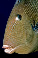 Triggerfish portrait