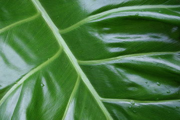 Big leaf close up