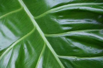 Big leaf close up