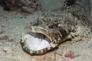 Tropical fish crocodilefish