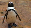 Baby Penguin Chick