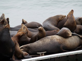 Sealions packed on marine dock poster