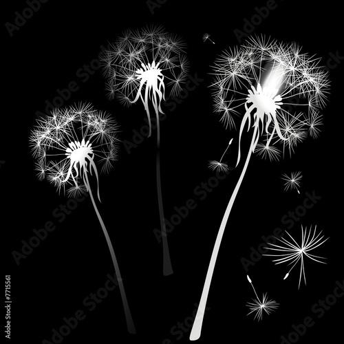 dandelions © dip