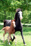 Curly Mare and Foal