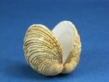 Common Californian Venus seashell poster