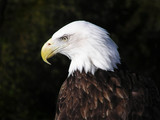 Profile portrait of an American Bald Eagle