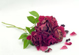 Wilted Roses - 7726799
