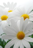 white spring marguerite - 7728169