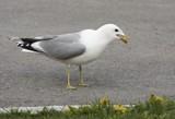 Common gull.  poster