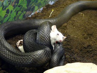 Snake choking mouse