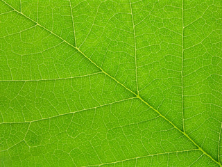 Green leaf blade closeup