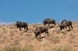 Blue wildebeest, Kalahari desert