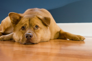 Dog looking up while resting on hardwood floor