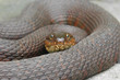 Northern Water Snake (nerodia sipedon) coiled to strike