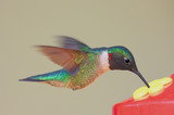 Hungry Ruby-throated Hummingbird (archilochus colubris) poster