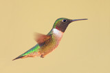 Ruby-throated Hummingbird (archilochus colubris) in flight poster