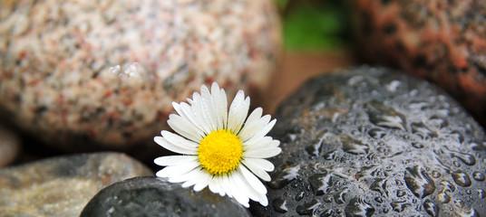 Steine Gänseblümchen