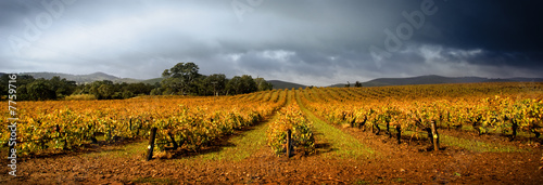 Stormy Vineyard