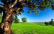 Old Tree in Meadow