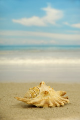 Conch on beach