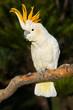 Cockatoo looking left