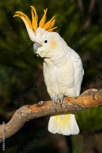 In de dag Papegaai Cockatoo looking left