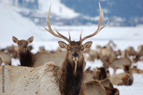 Bull Elk and Winter Range