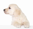 Cute little white dog looking away