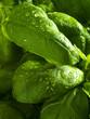 roleta: Fresh basil