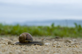 Garden snail with a mosquito sitting on the shell in the field poster