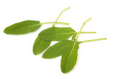 Common sage leaves isolated on, white background poster