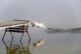Labrador retriever jumping into water  poster