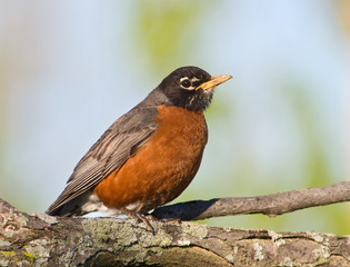 American Robin (Turdus Migratorius) resting on a large branch