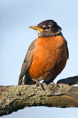 American Robin sitting on a branch