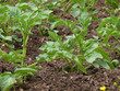 potatoes young plant3