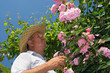Gardner pinching off dead flowers of a pink rose