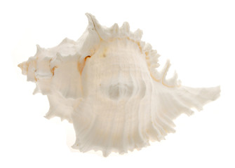 white sea shell top view