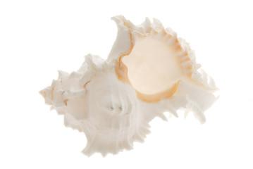 white sea shell bottom view