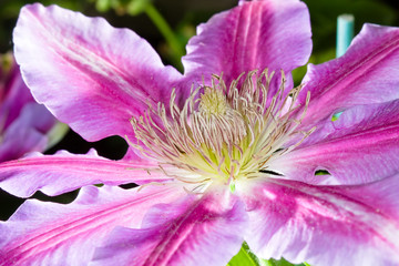 Detail of clematis purple and white flower