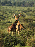 Two Reticulated giraffe poster