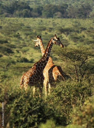 Fototapeta Two Reticulated giraffe