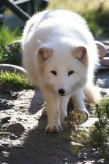 Polarfuchs - Zoo WO 02