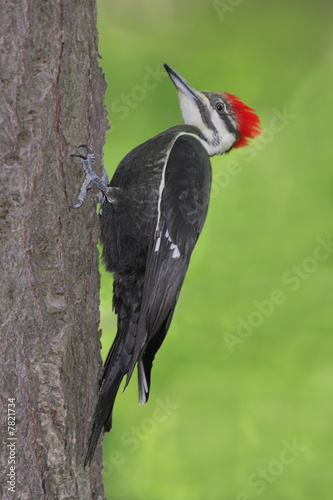 Pileated Woodpecker (Dryocopus pileatus) on a tree