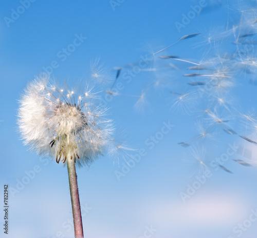 Fototapeta kwiat - głowa - Kwiat
