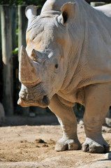 Great White Rhino