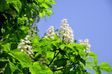 Kastanienbaum - Blumen